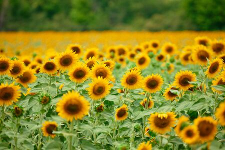 Sunflower field - bright yellow flowers, beautiful summer landscape Фото со стока