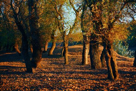 beautiful trees in the autumn forest near the river, bright sunlight at sunset 版權商用圖片
