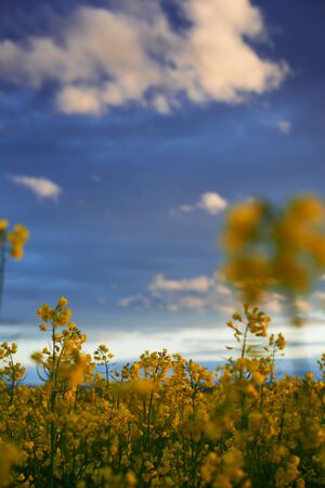 beautiful sunset - rapeseed flower closeup, bright springtime landscape, dark sky, clouds and sunlight