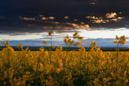 beautiful sunset over yellow flowers rapeseed field, bright springtime landscape, dark sky, clouds and sunlight Stok Fotoğraf