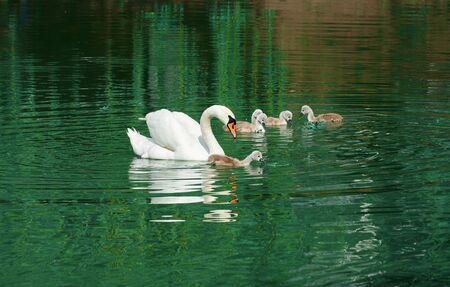 a family of white swans swims on the lake, adult swans and chicks, beautiful white birds Фото со стока