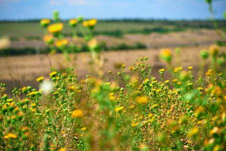 beautiful summer landscape with yellow wild flowers Stockfoto