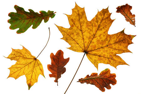 collection of autumn leaf closeup objects in details, bright and colorful, white background isolated, macro photo, depth of field entire object Archivio Fotografico