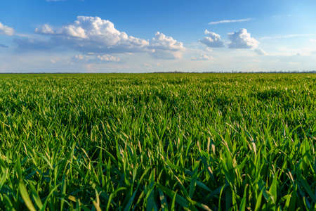agricultural field with young sprouts and a blue sky with clouds - a beautiful spring landscape