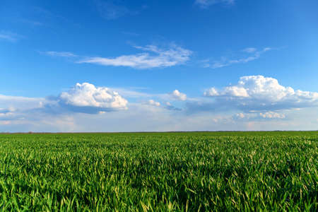 agricultural field with young sprouts and a blue sky with clouds - a beautiful spring landscape Stock Photo