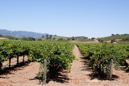 napa valley: Scenic view of a Napa Valley vineyard