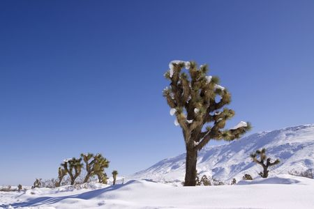 joshua: Joshua trees covered in snow