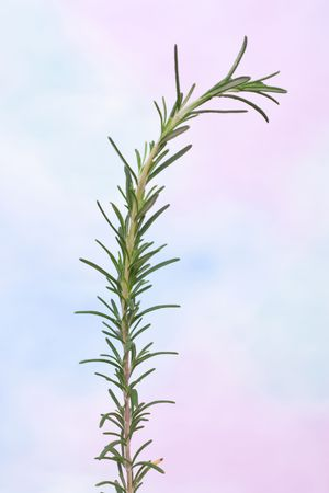 Close up of a branch of rosemary branch