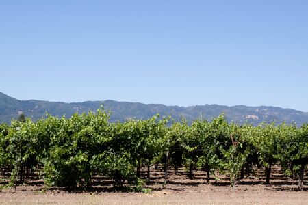 Scenic view of a Napa Valley vineyard photo