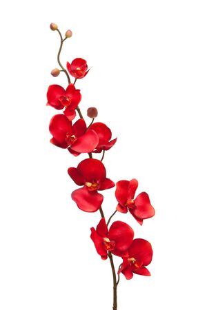 red orchid: Red orchid on white background