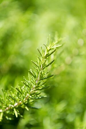 Close up of a rosemary plant Stock fotó