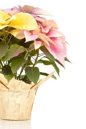 Multi colored poinsettia plant