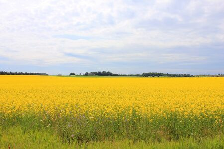 pastoral scenery: Rape blossoms
