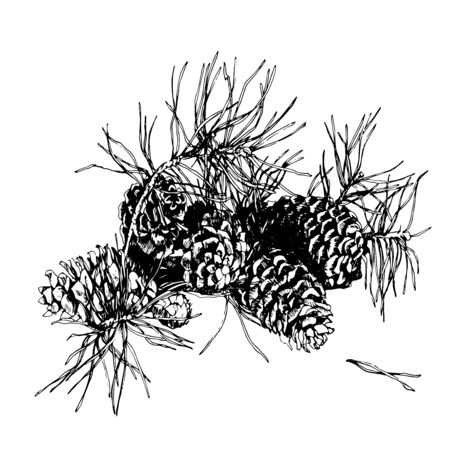 Branch of pine with cone. Hand drawn image.