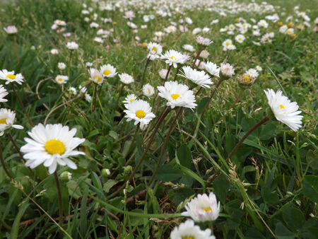 meadow of daisies Stock Photo