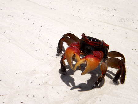 red crab of the Seychelles