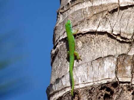 repent: green lizard of the Seychelles Stock Photo