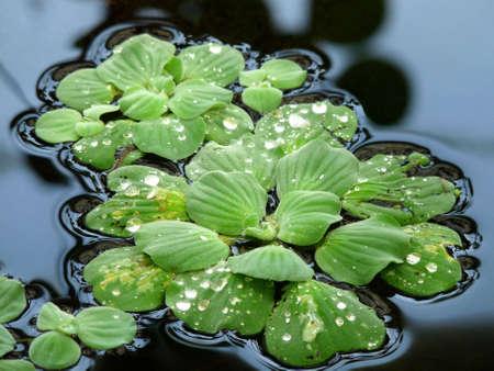 Water Lettuce (Pistia Stratiotes) Stock Photo