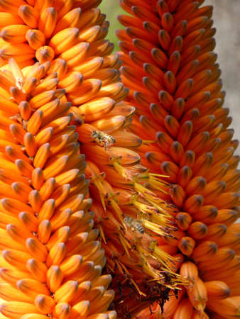 Cape Aloe (Aloe Ferox)