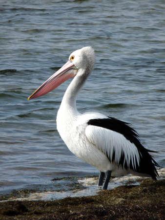 Australian Pelican.  (Pelecanus conspicillatus) Stock Photo