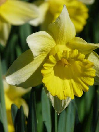 Spring flowers (Daffodil )