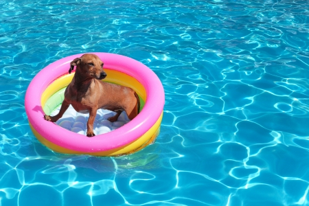 dogs play: dog on airbed in the pool