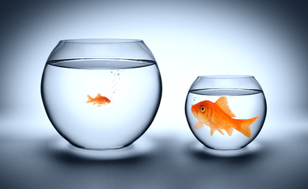 big and small: big goldfish in a small aquarium - outgrown concept  Stock Photo