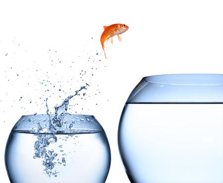goldfishes: pesce rosso che salta fuori dall'acqua - concetto di miglioramento Archivio Fotografico