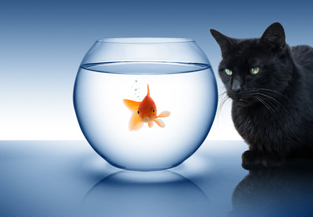goldfish in danger - with black cat  photo