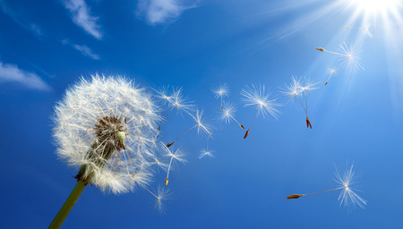 dandelion wind: allergy concept in spring  Stock Photo