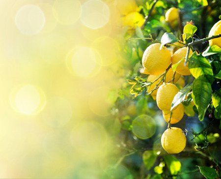 lemon tree: lemon background