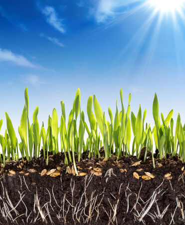 grass roots: growth concept soil in spring