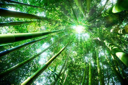 bamboo forest - zen concept photo