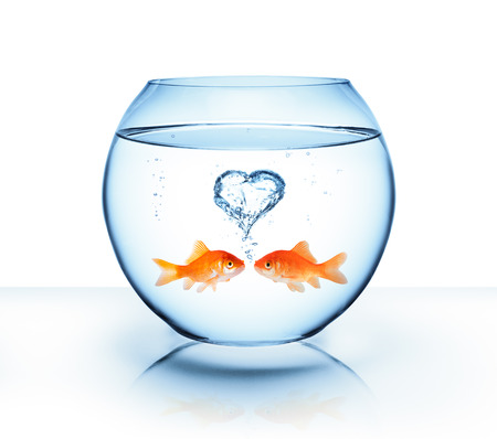 aquarium: goldfish in love - romantic concept Stock Photo