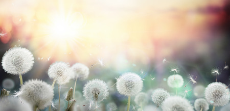 flowers bokeh: field of dandelion in sunset - bokeh and allergy