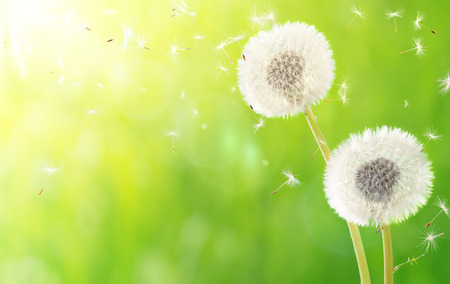 dandelion seed: breath of spring - new life and allergy