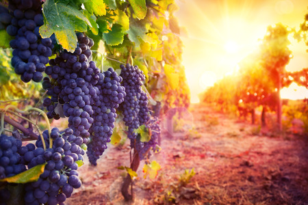 red sun: vineyard with ripe grapes in countryside at sunset