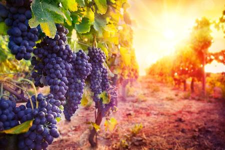 wijngaard met rijpe druiven in het landschap bij zonsondergang