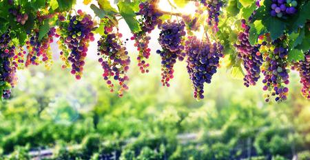 vi�edo: Viticultura The Sun que madura Las uvas