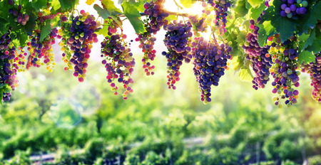 cabernet: Viticulture The Sun That Ripens The Grapes