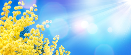 Mimosa In The Blue Sky - Womens Day Background