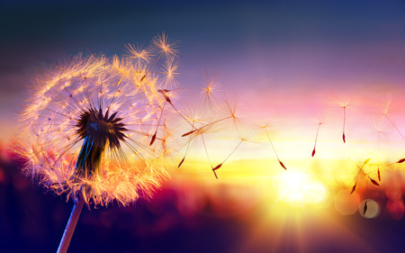 dandelion wind: Dandelion To Sunset - Freedom to Wish Stock Photo