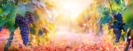 Vineyard In Fall Harvest With Ripe Grapes At Sunset Banque d'images