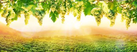 포도 수확: 석양 포도 재배 - 포도에서 화이트 매달려 포도