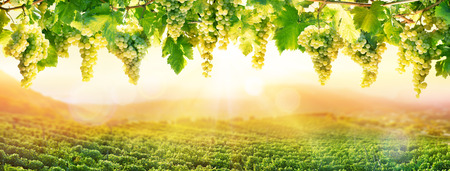 Viticulture At Sunset - White Hanging Grapes In Vineyard