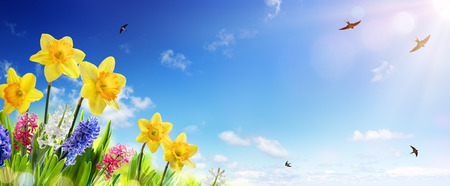 daffodils: Spring And Easter Banner - Daffodils In The Fresh Lawn With Fly of Swallow Stock Photo