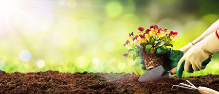 gardening gloves: Gardening - Planting Pansy In A Sunny Garden Stock Photo