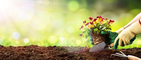 Gardening - Planting Pansy In A Sunny Garden Archivio Fotografico
