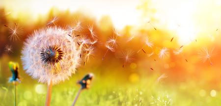 Mniszek lekarski na polu o zachodzie słońca - Wolność życzeń