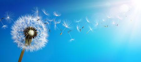 Dandelion With Seeds Blowing Away Blue Sky Stockfoto